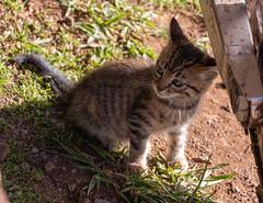 IMG_0556 (jaglazier) Tags: 121818 2018 ahuakivi animals cats chile december easterisland grass kittens mammals plants copyright2018jamesaglazier cute valparaisoregion