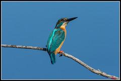 Alcedo Atthis (torben84) Tags: alcedo atthis alcedoatthis commonkingfisher kingfisher martinpescatore toscana italia nature nikon d7200 natura naturalistica