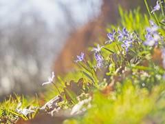Sunshine Flower Bokeh - 24. März 2019 - Tarbeker Moor - Schleswig-Holstein - Deutschland (torstenbehrens) Tags: olympus penf m42 ef 40mm f20 sunshine flower bokeh 24 märz 2019 tarbeker moor schleswigholstein deutschland