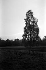 Solopgang, Älekulla (holtelars) Tags: asahi pentax spotmatic sp m42 supertakumar takumar 28mm f20 film 35mm analog analogue ilford fp4 ilfordfp4 100iso d76 bw blackandwhite monochrome filmphotography filmforever ishootfilm larsholte homeprocessing jobo atl1500 älekulla sweden sverige tree