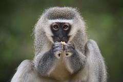 Vervet monkey / Grüne Meerkatze (Stefan Zwi.) Tags: monkey monkeyland gardenroute südafrika southafrica portrait affe closeup meerkatze vervetmonkey