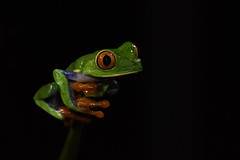 Red-eyed tree frog (Mustafa Kasapoglu) Tags: agalychniscallidryas redeyedtreefrog frog treefrog animal nature costarica