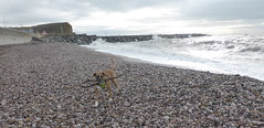 Reba at West Bay (andreboeni) Tags: reba boxer dog chien hund perros dogs chiens hunden stick beach westbay bridport
