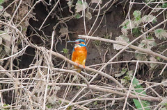 Male kingfisher (badger2028) Tags: kingfisher male fish alcedo atthis