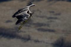 Vautour fauve - Gyps fulvus - Griffon Vulture (olivier teilhard) Tags: vautour vautourfauve gypsfulvus griffonvulture oiseau oiseauenvol outdor outside nature sauvage libre drôme rémuzat rhônealpes france canon7dmarkii olivierteilhard