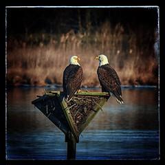 American Bald Eagles (Haliaeetus leucocephalus) (JRWhitaker1) Tags: blackwaternationalwildliferefuge haliaeetusleucocephalus maryland baldeagle birdofprey bird