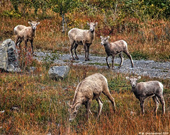 Wild Bighorn Sheep just off Canada 1A near Ghost Lake in Alberta Canada (PhotosToArtByMike) Tags: bighornsheep wildbighornsheep ghostlake alberta sheep bowriver canada1a cochrane canadianrockies calgary albertacanada mountain mountains