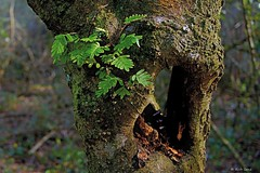 Ferns On Oak Tree (surfcaster9) Tags: ferns oak tree forest bark hole nature outdoors lumixg7 panasonic