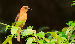 Cinnamon Attila (Attila cinnamomeus) - Yasuni, EC (bcbirdergirl) Tags: ecuador yasuninationalpark flycatcher southamerica napowildlifecentre napolodge yasuni amazon amazonia orellana cinnamonattila attilacinnamomeus