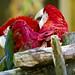 Birmingham Zoo 09-29-2017 - Scarlet Macaw 2