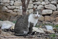 Gats a Els Omells de na Gaia (esta_ahi) Tags: lleida elsomellsdenagaia urgell lérida spain españa испания gat gato cat felissilvestriscatus