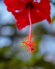 Hibiscus stamen (shinichiro*) Tags: 20190122sdim8131 2019 crazyshin sigmasdquattroh sdqh sigma1770mmf284dcmacrohsm january winter flower macro osaka 咲くやこの花館 ハイビスカス