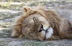 Happy Caturday (AnyMotion) Tags: lion löwe pantheraleo male cat sleeeping schlafend rest ruhepause katze portrait porträt porträtaufnahmen 2018 anymotion ndutu ngorongoroconservationarea tanzania tansania africa afrika travel reisen animal animals tiere nature natur wildlife 7d2 canoneos7dmarkii ngc npc