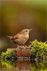 Wren posing (Gertj123) Tags: netherlands nature animal avian arjantroost hide holterberg water moss brown canon