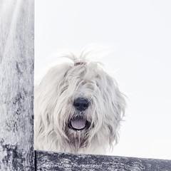 Sophie (dewollewei) Tags: oldenglishsheepdog oldenglishsheepdogs old english sheepdog sheepdogs oes dewollewei dog sophieandsarah sophie