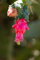 IMG_1290 (jaglazier) Tags: 122018 2018 cactus cerrosantalucia chile december flowers plants pricklypear red santalucia santiago urbanism cities copyright2018jamesaglazier gardens parks