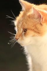 IMG_3703 (christineNZ2017) Tags: auckland newzealand furbaby furbabies cats cat feline gato animal mammal neko kattekop katt fur kitty katze katzen chat gatto kissa kot pisica moggy meow purr trooper 2019 gingerandwhite ginger red auburn sunlight morningsun