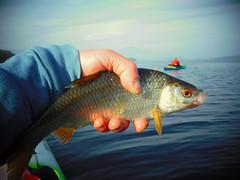 Silver lining (Nicolas Valentin) Tags: roach fish scotland kayakfishing kayak loch ecosse balmaha