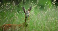 Roe deer hiding in meadow (Alan MacKenzie) Tags: roedeer deer doe animal mother wildlife nature meadow telephoto canon