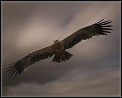 Majesty (brianjdavies) Tags: birds birdsofprey birdsinflight icbp internationalcentreforbirdsofpreynewent newent gloucestershire icbpnewent tawnyeagle eagles soaring
