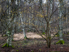 TheSpot (Bill Ferngren) Tags: atmospheric bill birch bole branches fealingsmood ferngren forest hammersta landscape mood myname naturedistrict naturereserve theforest thewoods treetrunks trees tribe wood tree sweden
