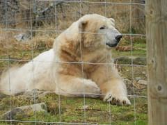 Victoria, Highland Wildlife Park, Kincraig, Mar 2019 (allanmaciver) Tags: victoria polar bear highland willife park fence wild animal imressive scotland wildlife kincraig allanmaciver