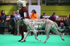 img_8342 (HoundPhotographer) Tags: irishwolfhound wolfhound hound crufts crufts2019 showdog dogshow