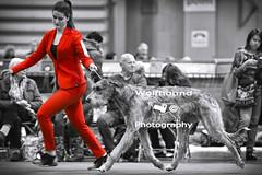 img_8879 (HoundPhotographer) Tags: irishwolfhound wolfhound hound crufts crufts2019 showdog dogshow