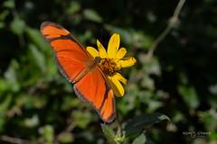 Mariposa Flama (Andres Ulibarrie) Tags: mariposa flor polinizar polinizadora insecto lepidoptera arthropoda wildlife butterfly flower pollinate pollinator insect dryasiulia nymphalidae