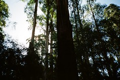 Trees (Matthew Paul Argall) Tags: kodak335 fixedfocus focusfree 35mmfilm kodakultramax400 kodak400 ultramax 400isofilm tree trees forest mountdandenong