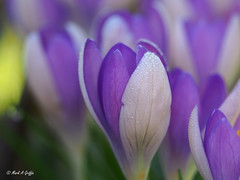 Two tone (mark.griffin52) Tags: olympusem5 england buckinghamshire cheddington spring garden flower crocus