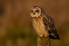 Side on shot (irelaia) Tags: short eared owl burwell fen perched evening light wild bird