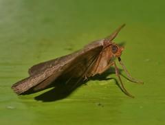Odd-bod geometrid moth Epidesmia sp Oenochrominae Geometridae Airlie Beach rainforest P1460909 (Steve & Alison1) Tags: oddbod geometrid moth epidesmia sp oenochrominae geometridae airlie beach rainforest