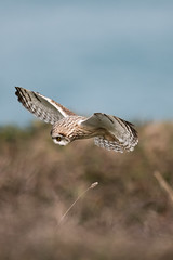 D85_7084 (WildKernow) Tags: see shortearedowl cornwall newquay uk owl