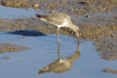 K32P7789c Black-tailed Godwit, RSPB Titchwell, February 2019 (bobchappell55) Tags: rspbtitchwell marsh wild bird wildlife nature blacktailedgodwit limosalimosa wader feeding norfolk hese waders
