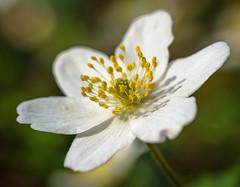 Buschwindröschen (KaAuenwasser) Tags: buschwindröschen blüte makro licht boden waldboden wald wild nah natur frühling frühjahr schatten blume weis sony ilce7rm3