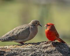 Odd Couple (FreezeAction) Tags: birds birding cardinal dove feathers animal nature wildlife photography birdphotography songbird