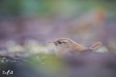 A little wren (Renate van den Boom) Tags: 12december 2018 belgië europa jaar kalmthout maand renatevandenboom vogels winterkoning