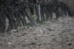 Motacilla alba (esta_ahi) Tags: penedès lescantarelles santmartísarroca motacilla alba motacillaalba motacillidae passeriformes lavanderablanca aves fauna vinya ceps cepas viña viñedo vineyard vitisvinifera barcelona spain españa испания