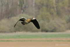 egyptian goose in flight (photos4dreams) Tags: photos4dreams p4d photos4dreamz blue sky blauer himmel kalt cold sun trees bäume landschaft ice bach stream gersprenz sunday biking winter fahrradfahren landscape canoneos5dmark3 frühling spring canoneos5dmarkiii münster hessen germany naturschutz nabu naturschutzgebiet nature river flus naherholung nilgans egyptiangoose nile goose geese