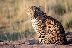 Leopard (mayekarulhas) Tags: narok riftvalleyprovince kenya ke leopard wildlife wild masaimara canon canon500mm canon1dxmark2