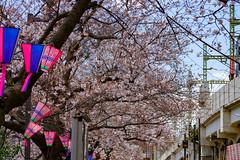 RAW_IMGP4423 (kirinoa) Tags: 横浜市 神奈川県 日本 jp 日ノ出町 黄金町 大岡川 桜