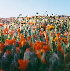 CA Superbloom Abstract (screenwriterii) Tags: rolleicord kodak film california superbloom flowers abstract