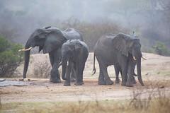 African Elephants (Ben Locke.) Tags: elephant africanelephant wild wildlife nature southafrica africa