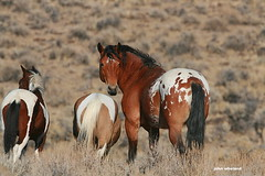 Some old mustang pictures (calljohn3) Tags: horses equine mustang steens oregon nature wild appaloosa