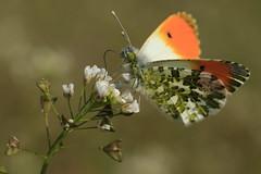 Oranjetipje (woutermaes) Tags: aurorafalter aurore mariposa aurora