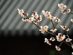 春花 (klawass6085) Tags: 花 桜 梅 サンシュユ 山茱萸 flowers olympus omd omdem5markii mzuiko75mmf18