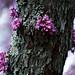 Flowering Tree, Nashville 4/6/19