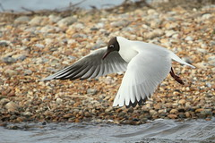 Black-headed Gull-7D2_2904-001 (cherrytree54) Tags: black headed gull rye harbour east sussex canon sigma 7d 150600