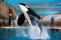 Verve (CetusCetus) Tags: seaworld sandiego swc swsd seaworldsandiego calfornia seaworldcalifornia orcaencounter shamu shamushow ulises orca killerwhale whale dolphin cetacean animal water breach